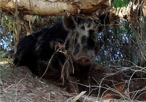 Новости Австралии - странные новости - новости о животных: В Австралии дикую свинью обвинили в краже пива