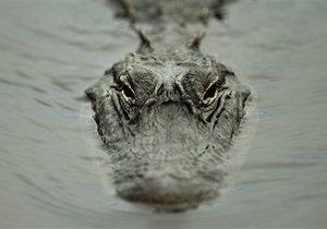 Новости США - новости о животных - странные новости: В США поймали аллигатора весом свыше 300 килограмм