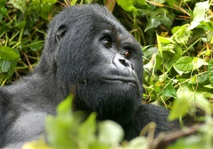 Австралія - горила - найстарший - ватажок