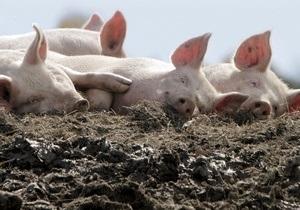 Новини Росії - заборона - свині - африканська чума свиней