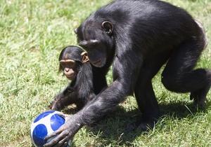 Автобіографічна пам ять шимпанзе і орангутангів практично не відрізняється від людської - вчені