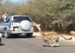 Антилопа  сховалася  в авто від гепардів