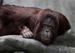 Орангутанг - ожиріння - Малайзія