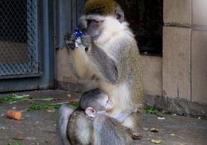 новини Києва - Тітушко - зоопарк - Київський зоопарк оголосив конкурс на нове ім я мавпочки, читачі пропонують назвати її Тітушко