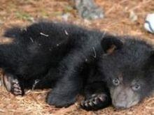 У Київському зоопарку діти-сироти обрали ім'я для ведмежати