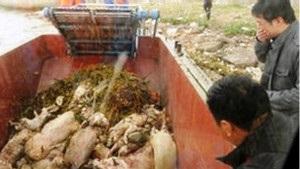 У Китаї з річки виловили майже 6 тисяч мертвих свиней