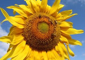 В Україні через спеку врожайність соняшника впаде на 15%