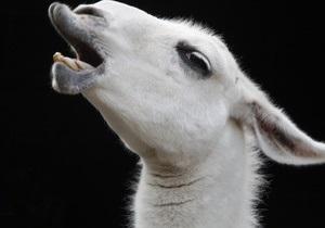 Британські фермери замінять сторожових собак агресивними ламами