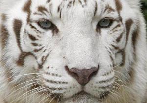 У Чилі білий тигр напав на служителя зоопарку