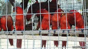 Traffic: Соломонові острови стали центром глобальної незаконної торгівлі дикими птахами
