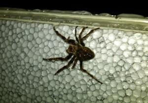 Павуки, які втратили статеві органи, стають витривалішими