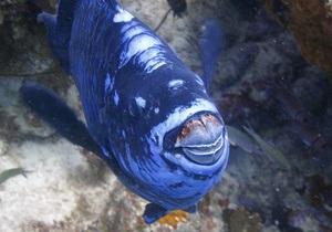 Суперництво риб-папуг нагадує бої баранів - біологи
