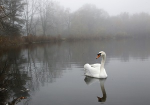 У Британії надто агресивному лебедю знайшли нове житло