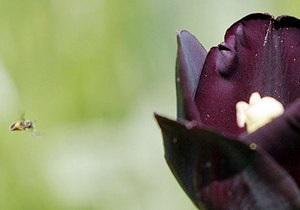 Сьогодні у столиці відкрилася виставка тюльпанів