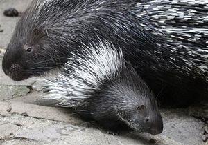 У Київському зоопарку народилися чотири дикобрази