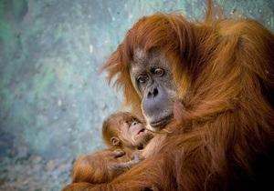Вчені: Орангутани будують гнізда як справжні інженери