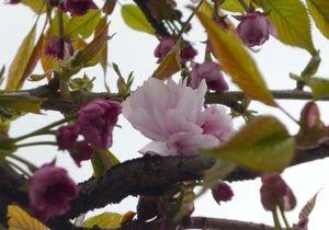 В Ужгороді розцвіла сакура