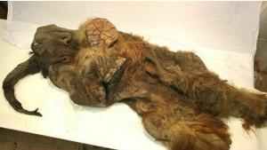 Бі-бі-сі: Первісні люди  крали  мамонтів у левів – гіпотеза учених