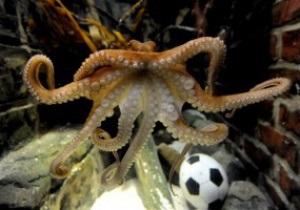 Результат матчів Євро-2012 за участю збірної Португалії передбачить двоюрідний брат восьминога Пауля