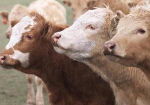 Білорусь тимчасово заборонила ввозити худобу з ЄС