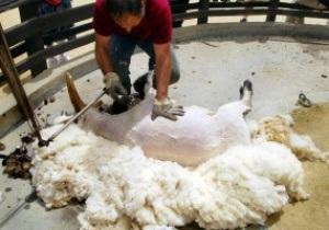 Стрижку овец предлагают внести в программу Олимпийских игр