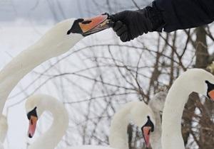 У Тернопільській області рятувальники звільнили лебедів з льодового полону