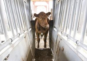 На фермі у Миколаївській області корова захворіла на сказ