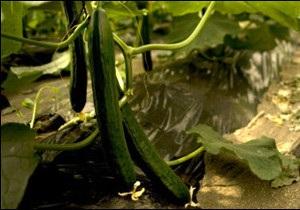 У Європі - масштабний спалах кишкових розладів через огірки