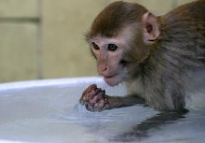 В Индии обезьян-лангуров наняли для охраны спортсменов от макак