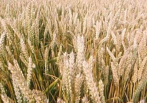 Україна буде з хлібом? Фактор погоди