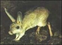 Уперше знято на камеру мініатюрного пустельного ссавця