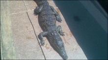 У Маріуполі встановлять пам'ятник крокодилу Годзі