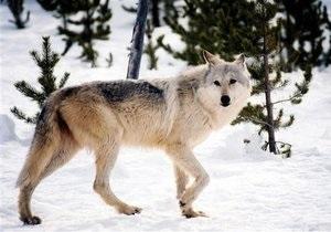 В Якутии введен режим чрезвычайной ситуации из-за нашествия волков