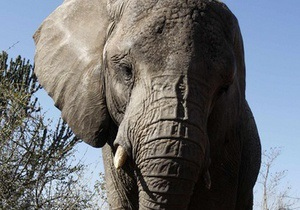 Африканских слонов разделили на два биологических вида