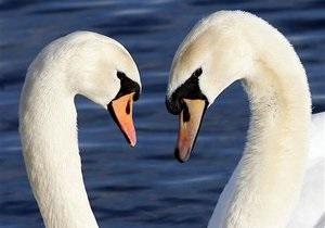 В Чернигове в отстойнике с мазутом спасли двух лебедей
