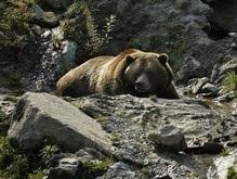 В России голодают медведи