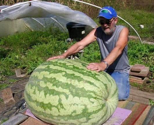 На Херсонщине вырастили арбуз весом в 119 кг