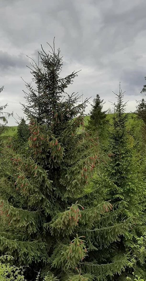 Цветет раз в 7-10 лет: на Прикарпатье зацвела смерека (ФОТО)
