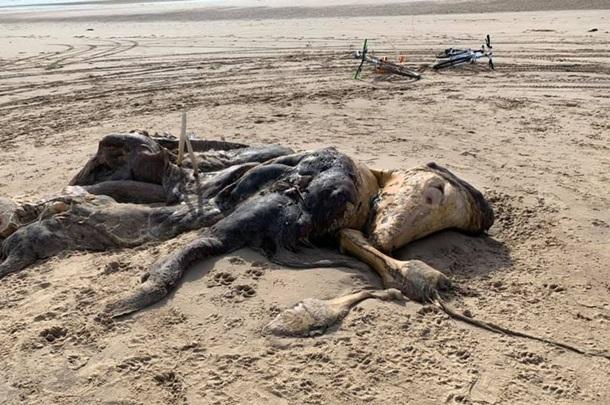 На пляже нашли 4-метровую тушу неизвестного существа. ФОТО