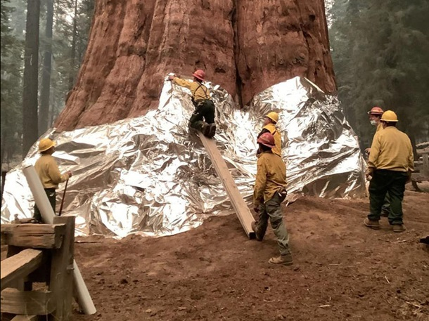 В Калифорнии горят реликтовые секвойи - их пытаются спасти огнеупорными одеялами (ФОТО) 13