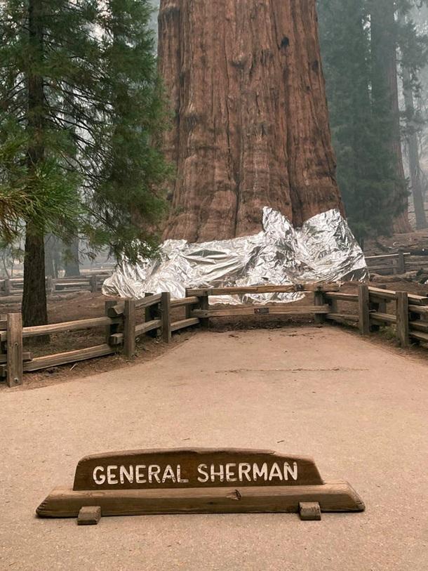 В Калифорнии горят реликтовые секвойи - их пытаются спасти огнеупорными одеялами (ФОТО) 9