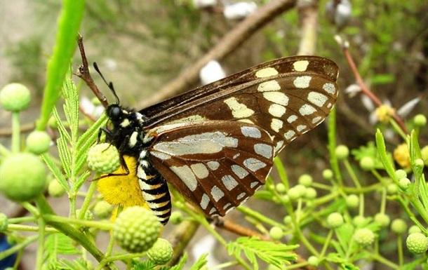 Пережившая динозавров бабочка находится на грани вымирания