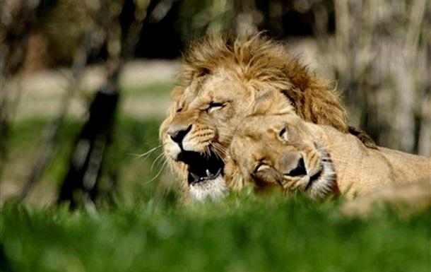 В Далласе лев загрыз львицу на глазах у посетителей