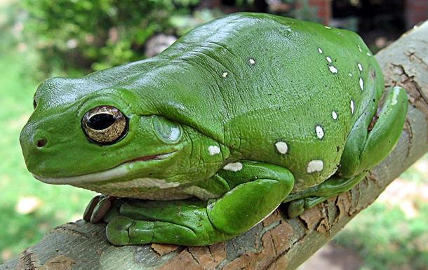 Кожная инфекция привела к вымиранию лягушек Дарвина