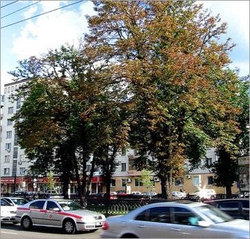 Вбивчий ґрунт з-під київських каштанів перевірять в американській лабораторії.