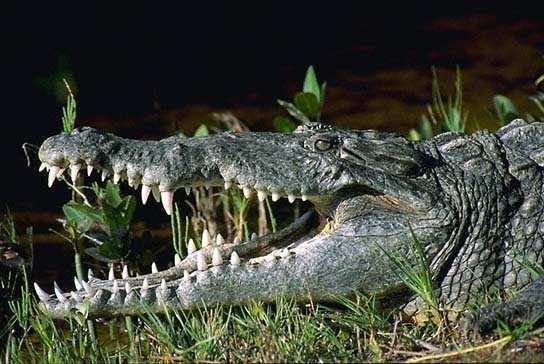 Как убежать от крокодила?