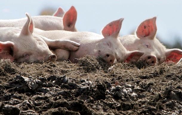 В Италии босса мафии заживо скормили свиньям