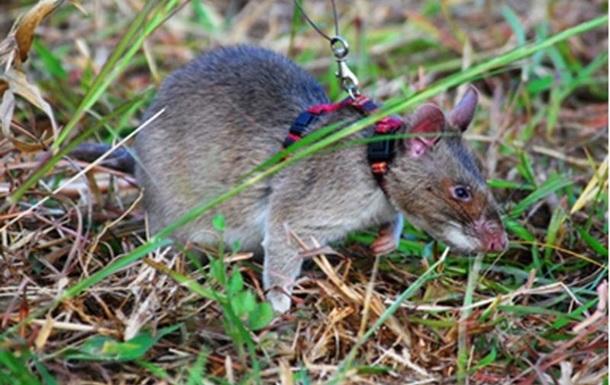 На Гуам сбросили  десант  из тысяч мышей