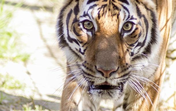 Итальянца арестовали из-за домашнего тигра и наркотиков
