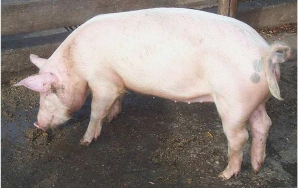 Россия и Украина начинают переговоры по поставкам свинины в условиях борьбы с африканской чумой